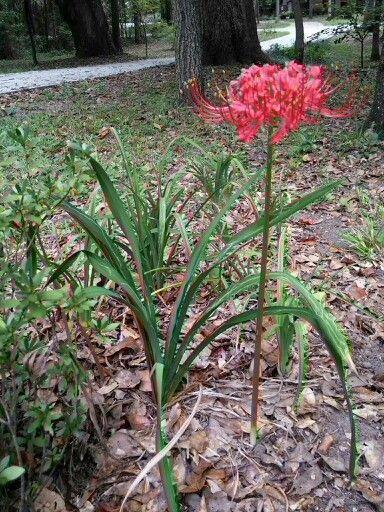 Hurricane lily Lycoris radiata Zone 8B late September