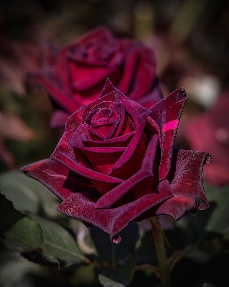 Pin By Dlo Jan On Gol Pinterest Rose Beautiful Roses And Flowers