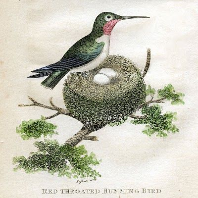 http://thegraphicsfairy.com/antique-clip-art-hummingbirds-with-nest-natural-history/