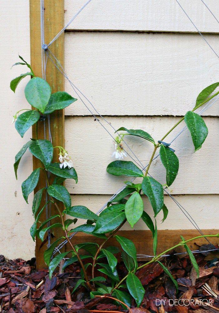 DIY - Chinese Star Jasmine on Espalier Wire | Jasmine, Gardens and ...