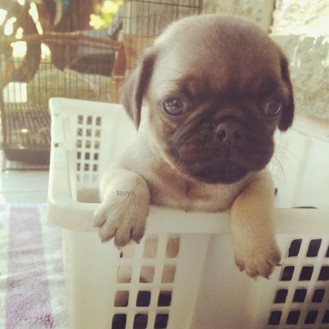 Hi I M Tasya 20days Old Pug Pugdogs