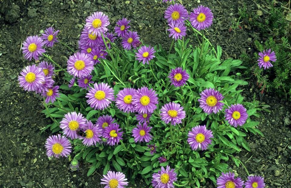 Aster Polish Flower Aster Flower Flower Garden Plans Summer Flowers Garden