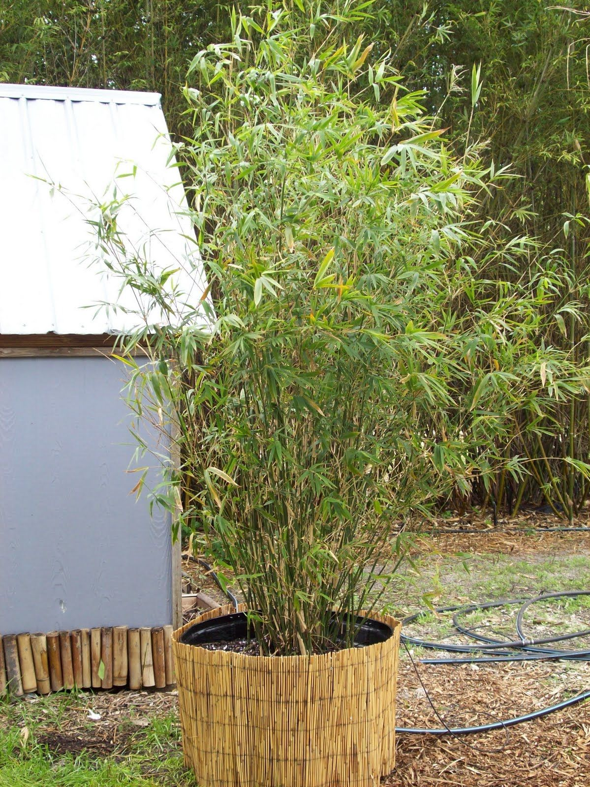 Beautiful Bamboo Golden Goddess Bamboo Bambusa Multiplex