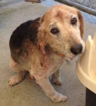 Found Older Male Beagle Tarboro Nc Has Mange The Contagious Kind