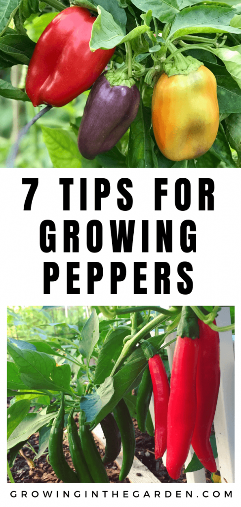 How to Grow Peppers  Growing Peppers – Home vegetable garden