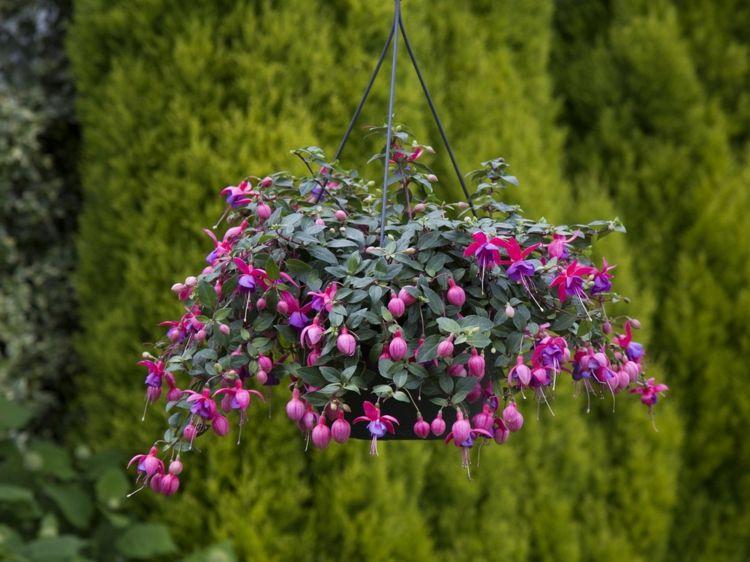 Blühende Hängepflanzen Für Blumenampeln 10 Ampelpflanzen Ideen