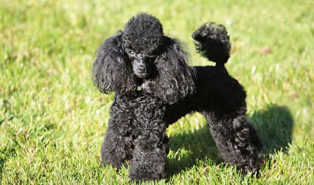 Toy Poodle Dog Breed Information Poodle Puppy Poodle Puppies