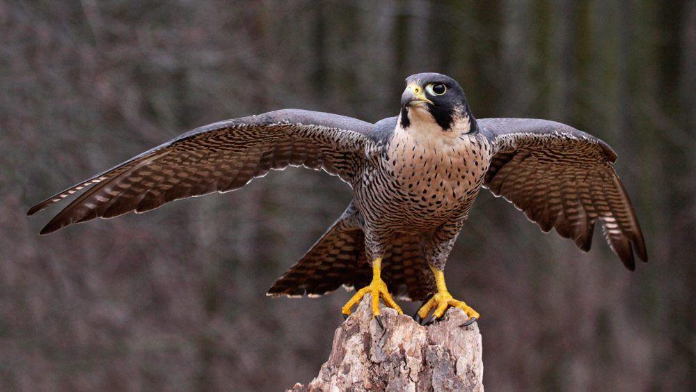 Halcón Peregrino El Ave Más Rápida Del Mundo Halcon Peregrino Falco Peregrinus Aves Rapaces