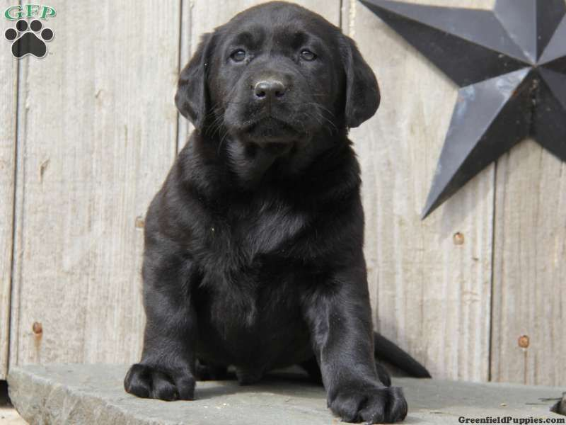 Black Lab And Rottweiler Mix Puppy Rottweiler Mix Puppies Rottweiler Mix Puppy Dog Pictures