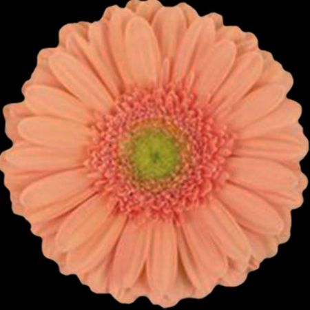 Avignon Gerbera Flowers And Fillers Flowers By Category Sierra Flower Finder Gerberas Ramos De Novia Flores Boda