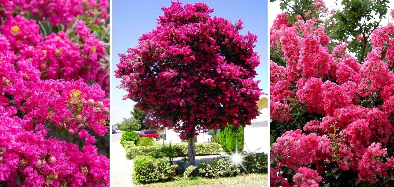 Najdluzej Kwitnacy Krzew Swiata Lagerstroemia 7858047935 Allegro Pl Flower Garden Garden Flowers