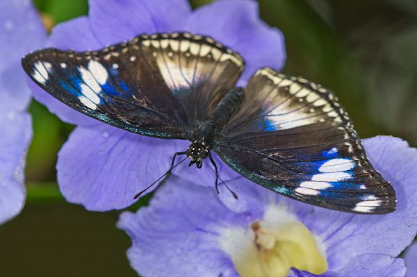 An adult male Hypolimnas bolina (Great Eggfly)