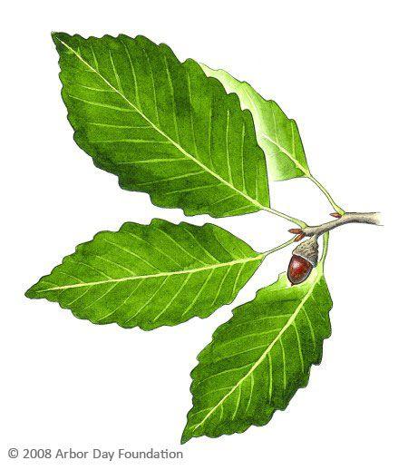 4604 Oak Arbor: Tree Identification, Garden Trees, Plant