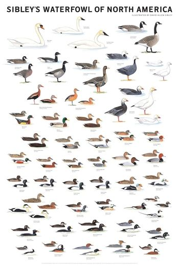 Duck identification chart waterfowl of north america poster