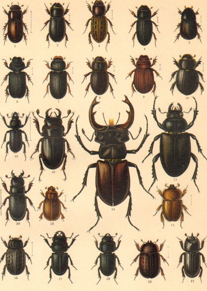 1916 scarab beetles scarabaeidae chromolithograph when nature and