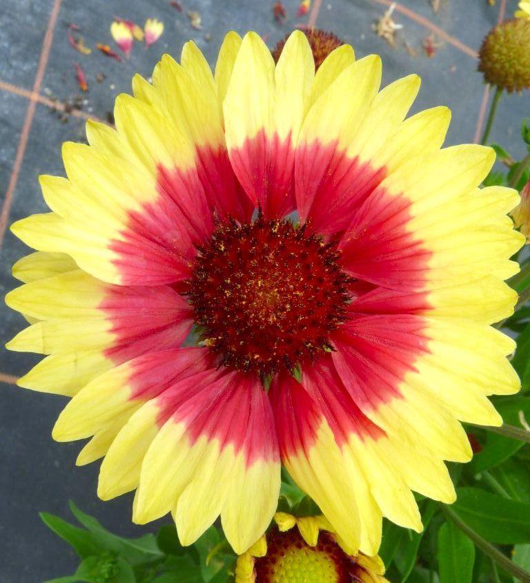 Blanket Flower 'Sunset Mexican' (Gaillardia x grandiflora