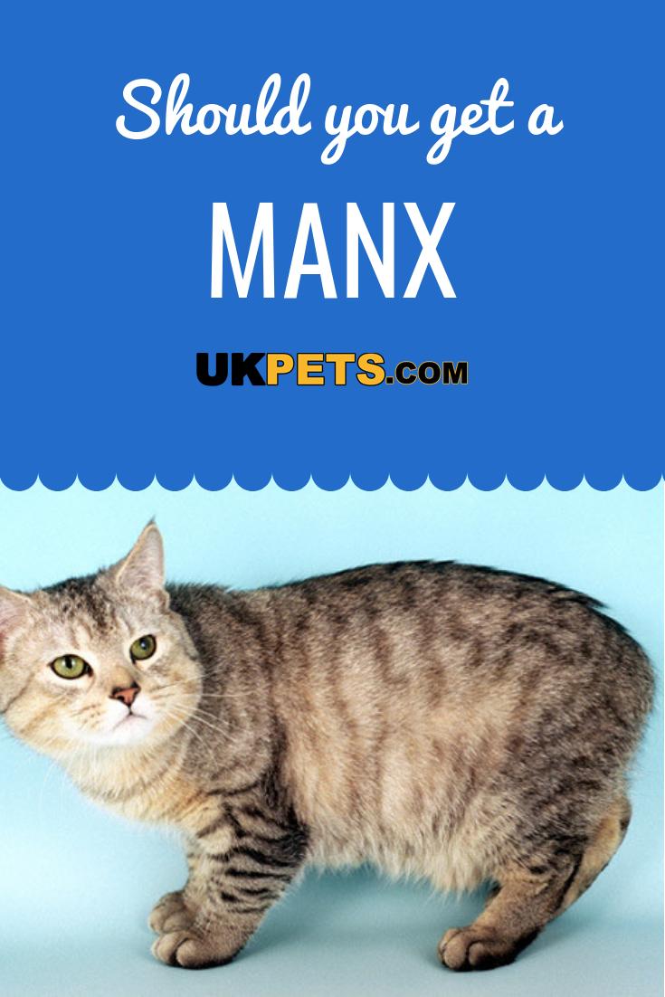 Manx Cat Breed Information UK Pets Manx cat, Cat