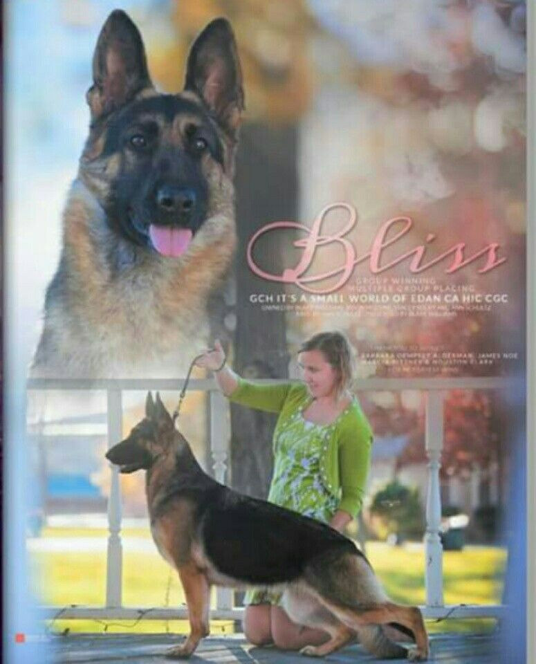 Pin By Paz Hernandez On Best American Showlines Best Dog Breeds