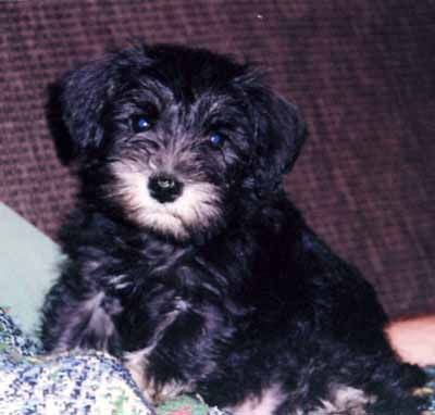 Black Schnoodle Google Search Schnoodle Schnoodle Dog
