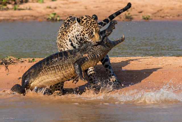 Photographer Justin Black captured this incredible photo of a jaguar attacking a caiman in the wetlands of Brazil. Black was leading a group of photographs