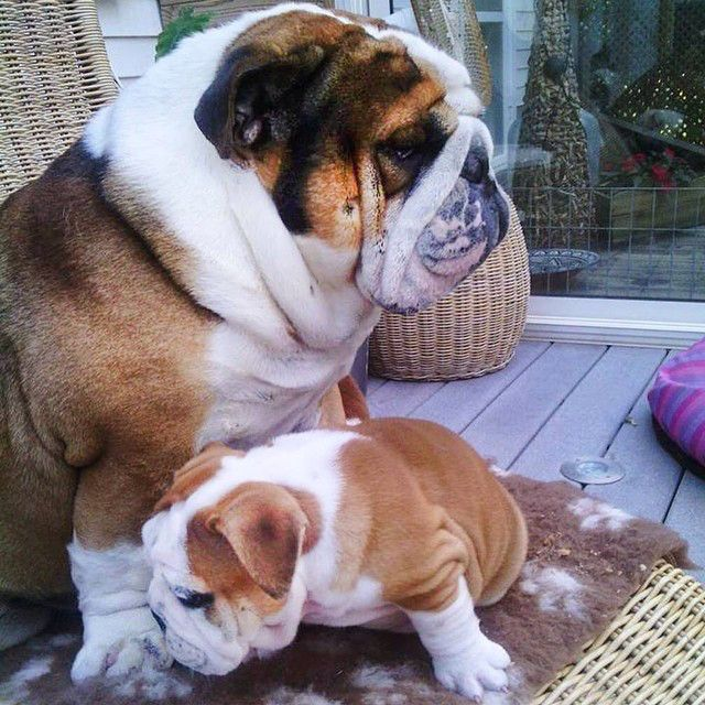 Bulldog Calm Courageous And Friendly Bulldog Cute Animals