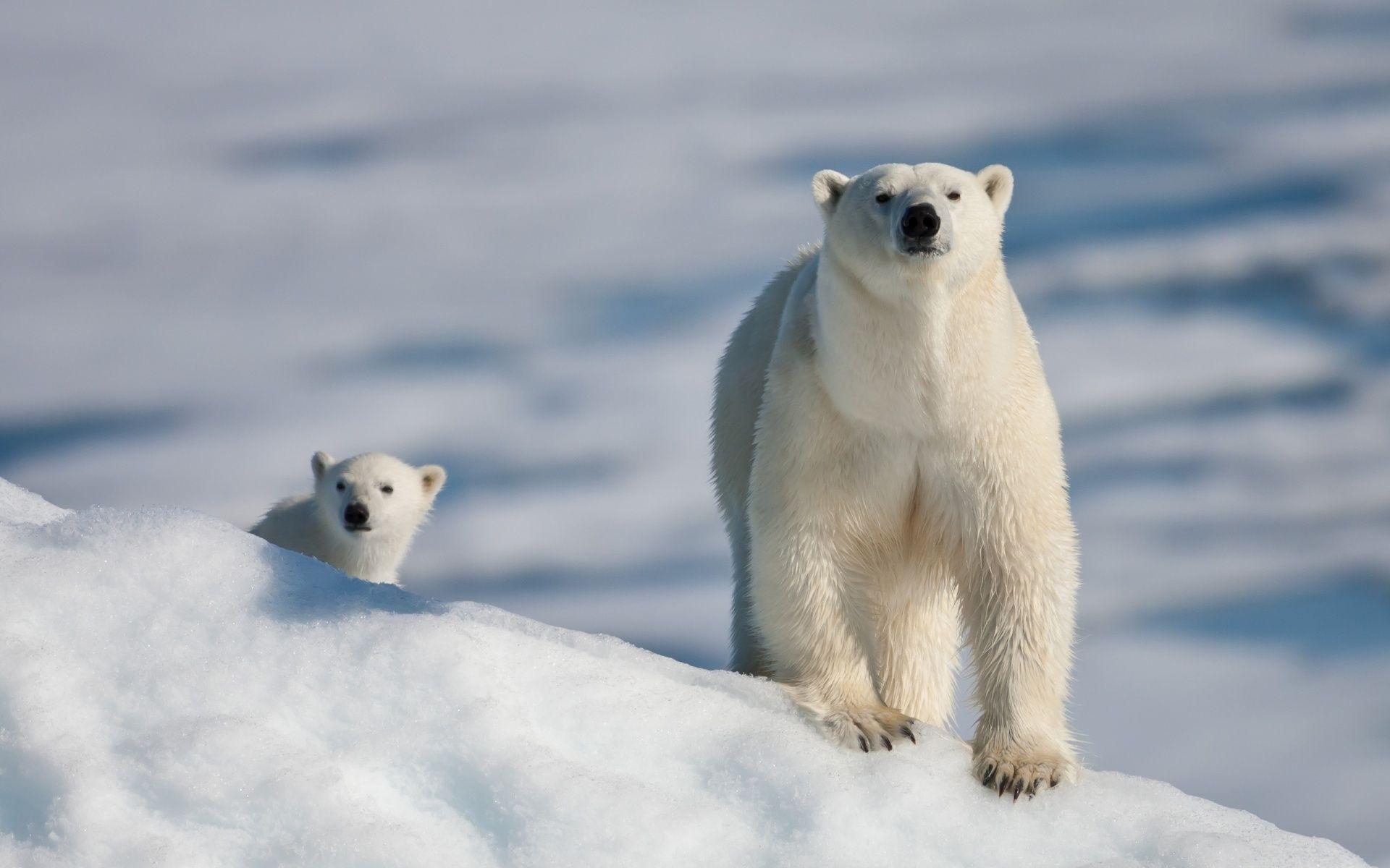 Ice Bears 1920 1200 Polar Bear Baby Polar Bears Cute Polar Bear Animal polar bears on ice wallpapers hd