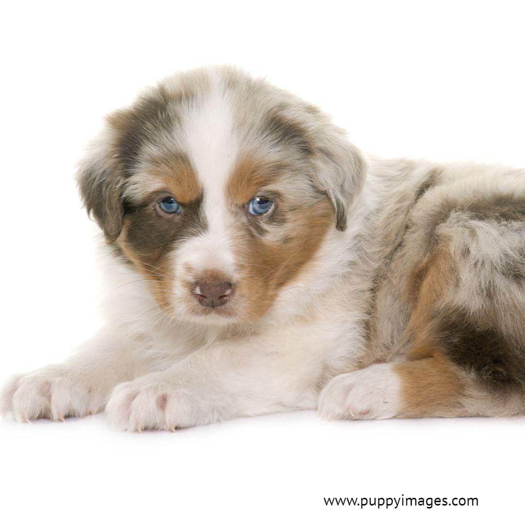 Australian Shepherd With Blue Eyes Australian Shepherd Puppy