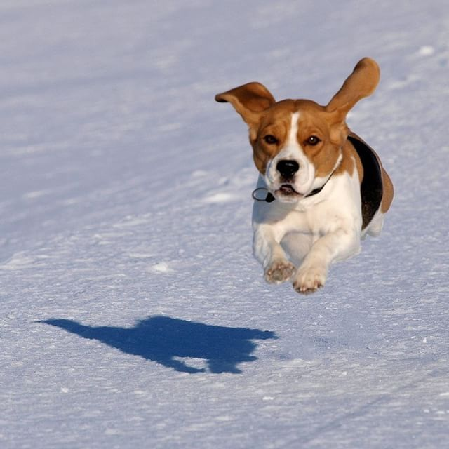 Flying Beagle Puppy Beagle Hunting Beagle Puppy Beagle Dog