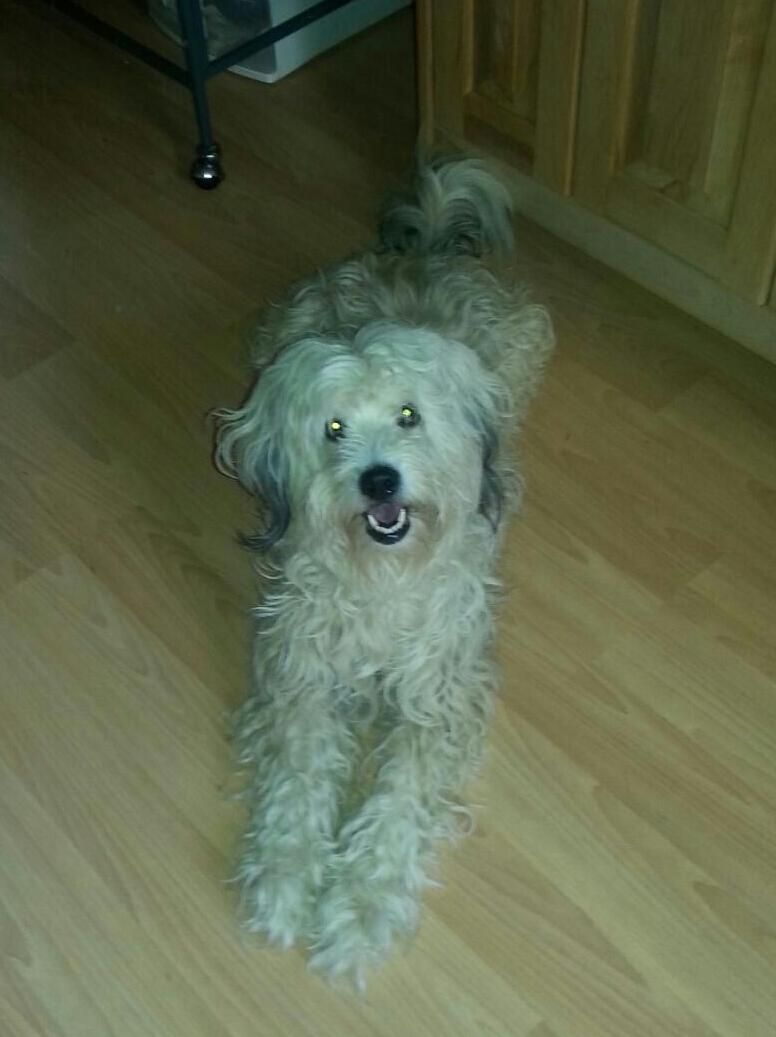 ADOPTED! Meet Suzie Q., a Petfinder adoptable Cockapoo Dog   Jeannette, PA   Suzie Q. is in a foster home.  Please first fill out application at fourpawsanimalrescue.org.  Meet...