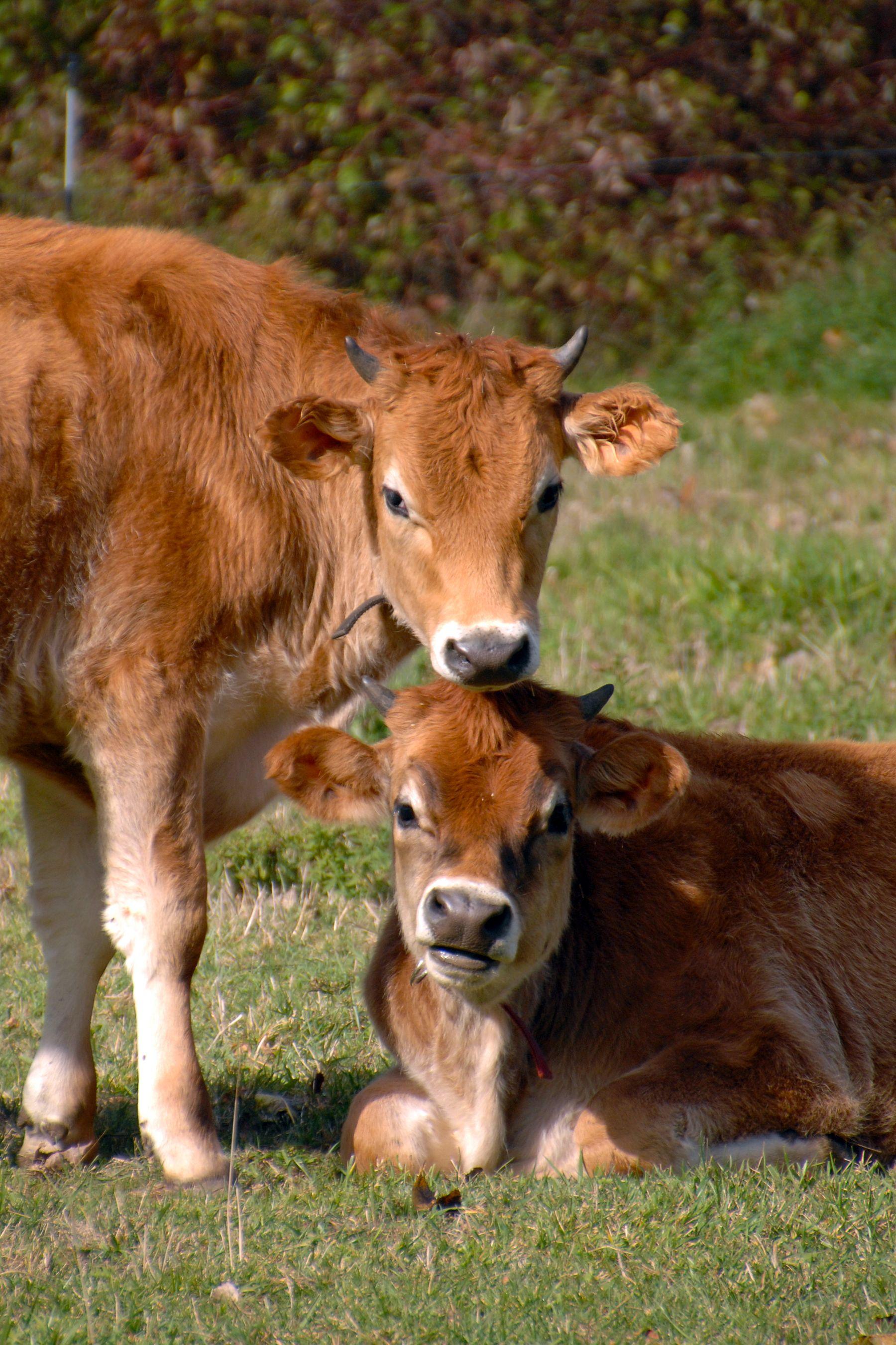 Photo by Mark Donnelly, Ph.D. #oxen #farmstead #farm #19thcentury ...