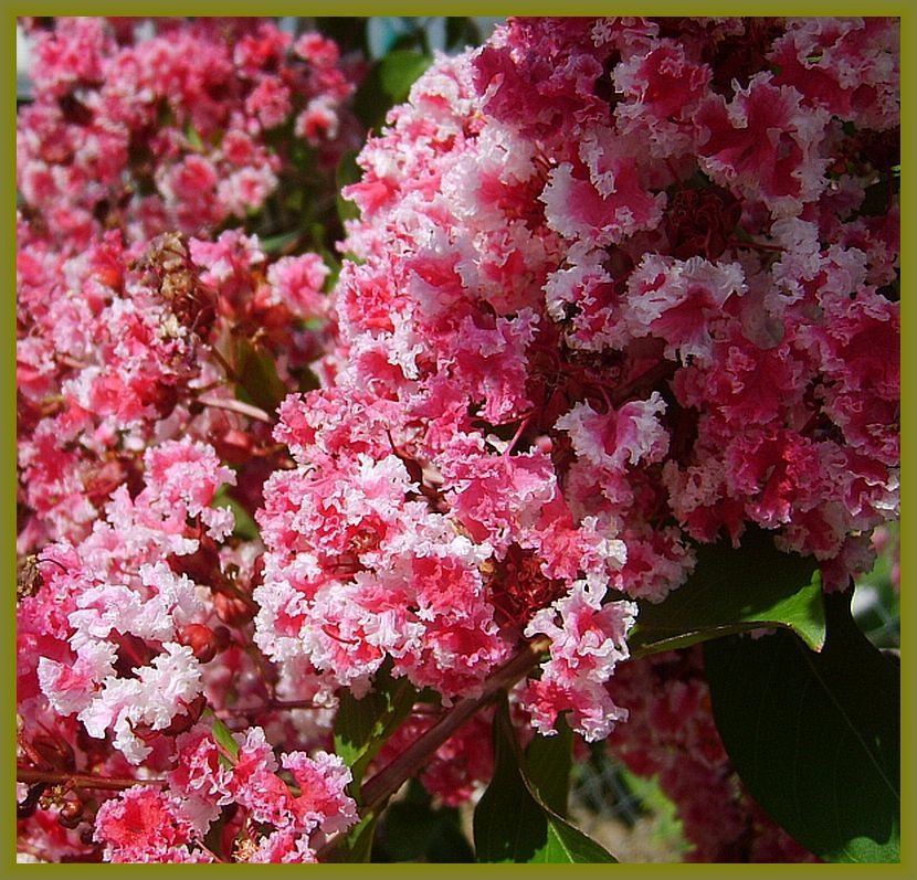 Incomplete Crape Myrtle Tree Bush Plant Variegated Pink
