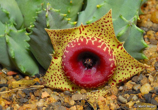 Huernia humilis flower by Martin_Heigan, via Flickr