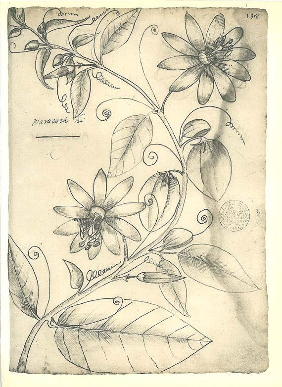Passion Flower Vintage Botanical Sketch Drawing Passionfruit By Frei Cristovao Brazil Fruit Sketch Botanical Sketchbook Passion Flower