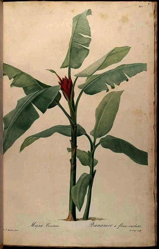 HD illustration available4 Vintage Tropical Botanical Print Set No 1 Giclee Prints antique french victorian botanical print musa banana tree Vintage poster Flower print a...