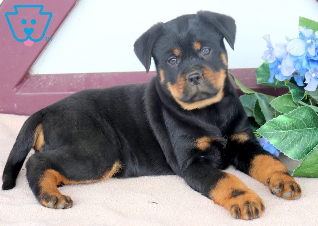 Scar Miniature Puppies Your Dog Rottweiler