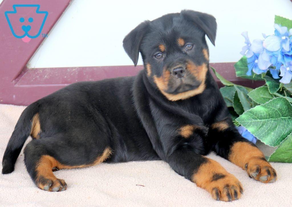 Scar Rottweiler Puppies Miniature Dog