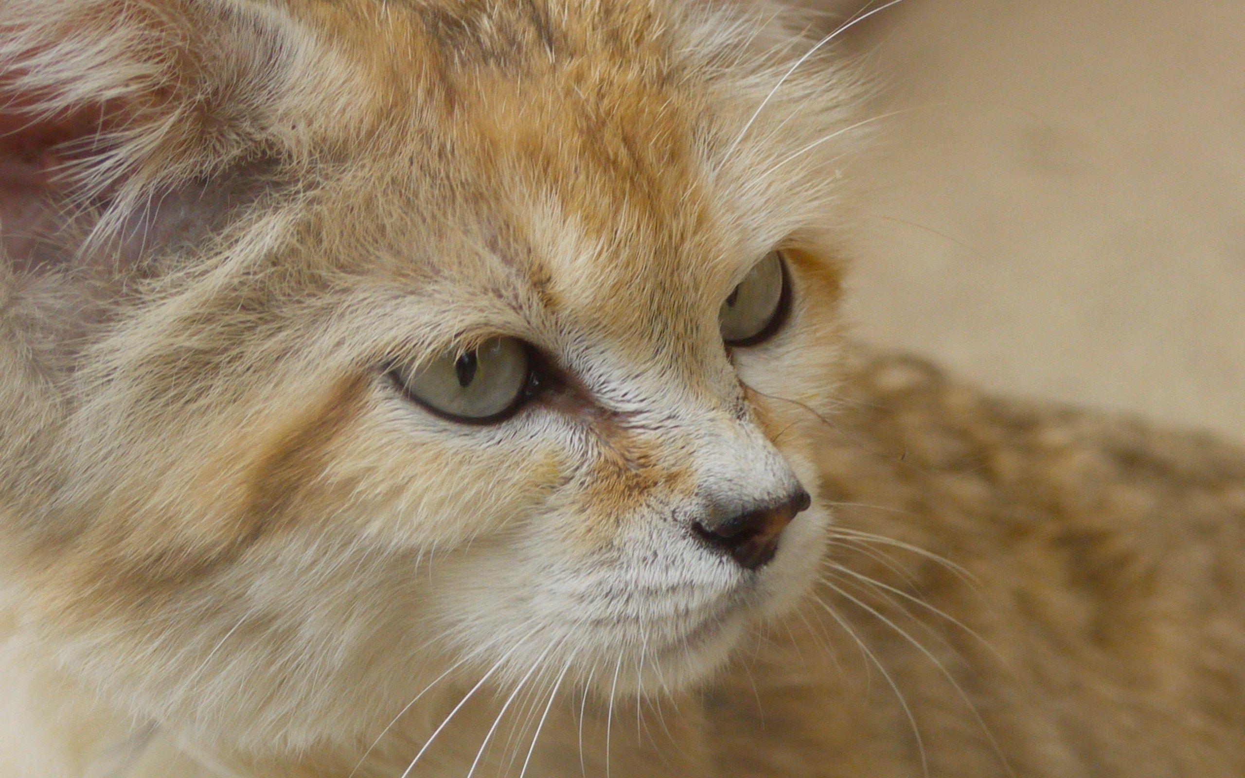 2560x1600 Cool sand cat Sand cat, Small wild cats, Cat