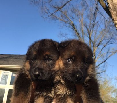 Litter Of 5 German Shepherd Dog Puppies For Sale In Troy Mi Adn