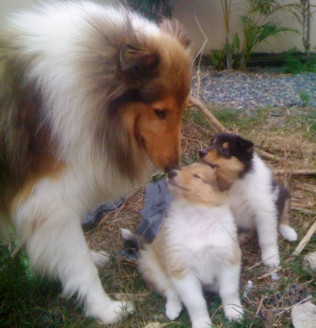 Mother And Her Pups Shetland Sheepdog Dog Breeds Cute Dogs