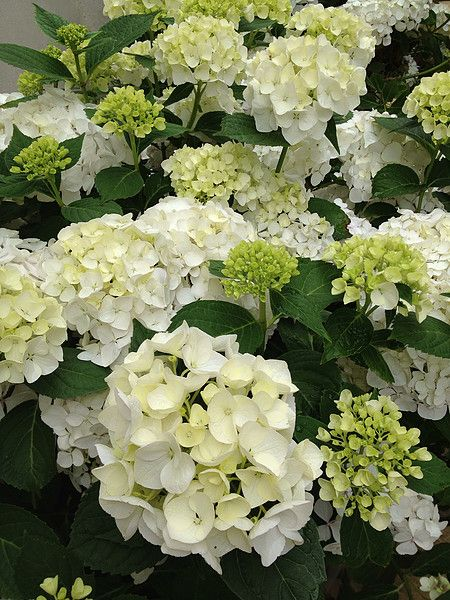 Hydrangea Bridal Bouquet Hedge Garden Design Nursery Shade Garden Plants Garden Design Classic Garden