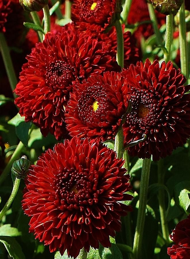 Burgandy Mums By Bruce Bley Red Chrysanthemums Unique Wedding