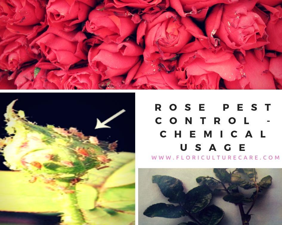 Rose Pest Control Chemical Usage Pest control, Rose
