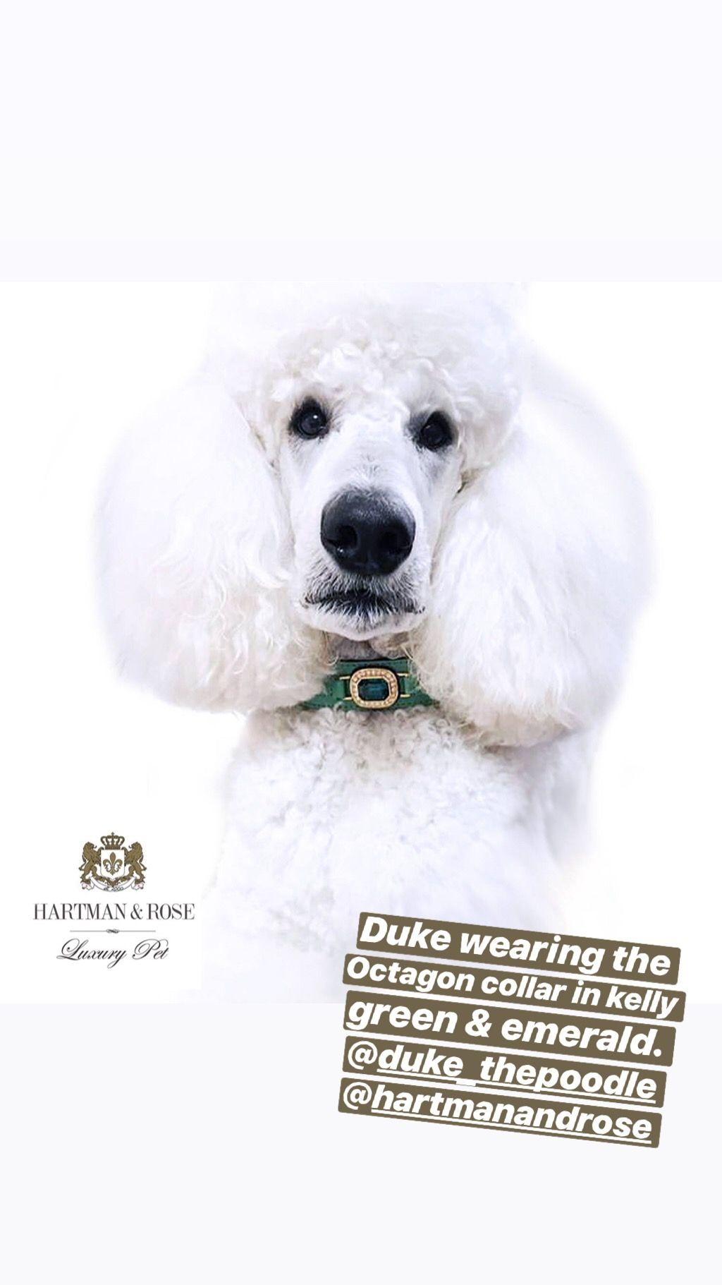 Save 40% use code: Parkavenue Hartman & Rose Luxury Pet Products www.hartmanandrose.com Duke wearing the Octagon collar in kelly green & emerald. The Swarovski center crystal is magnificent and so is Duke the Standard Poodle. @hartmanandrose #hartmanandrose @duke_thepoodle Take the Lead & Walk in Style ❤️