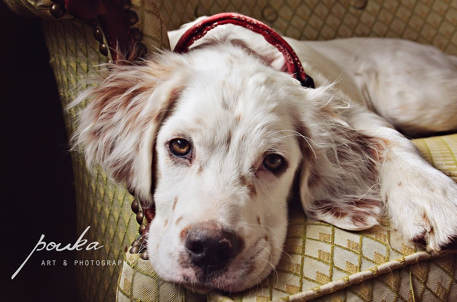 English Setter puppy portrait. Popper. English setter
