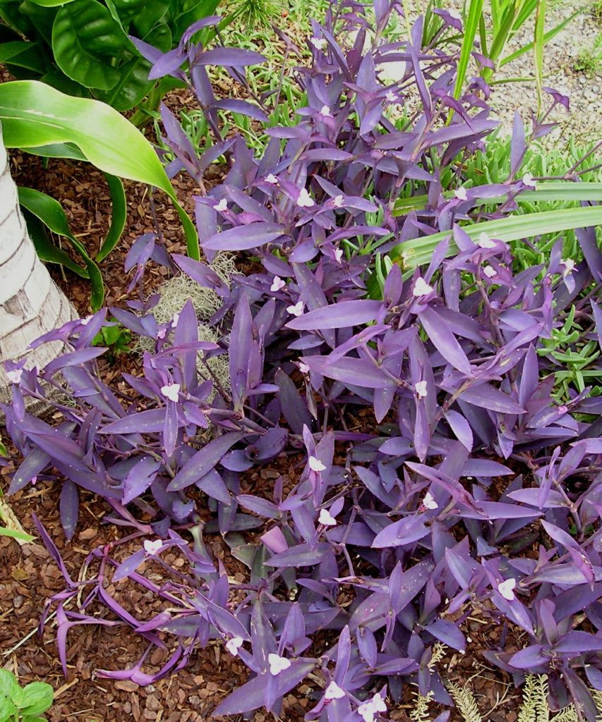Tradescantia pallida púrpura heart.jpg