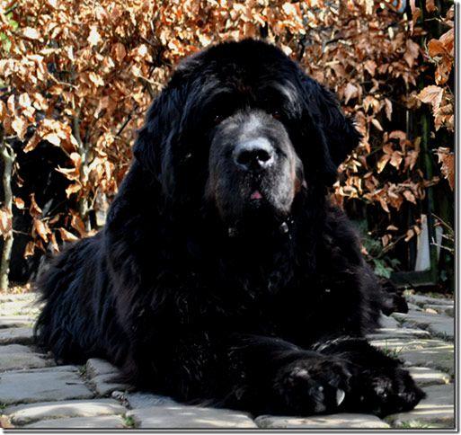 Pin By Barbara Dinsmore On Newfoundlanders Newfoundland Dog Big Dogs Newfoundland