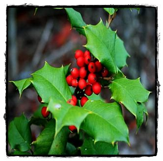 Royal Family Holly  ~ See the Plant Information Index for more details at kieferlandscaping.com