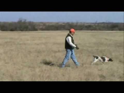 Bird Dog Training Part 4 Teaching Whoa Hunting Dogs Training