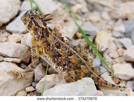 "devils Lizard"" Stock Photos, Royalty-Free Images & Vectors ..."