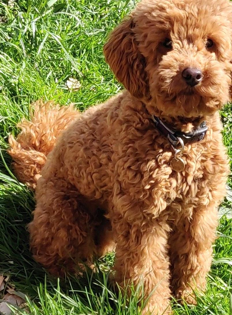 Proven Red Toy Poodle Stud Dog Health Tested For Stud In Retford Notts Preloved In 2020 Toy Poodle Puppies Toy Poodle Haircut White Toy Poodle